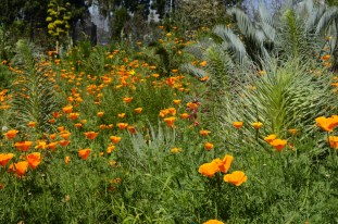 Poppies at Fullerton Arboretum (5)