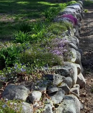 Phlox on stone wall