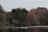 swan, goose, pond