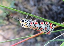 KK 2014 Mar a 041_Utetheisa pulchella _crimson-speckled footman