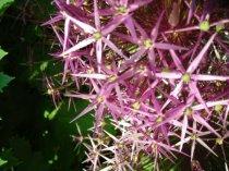 Purple starts -Sacred Geometry
