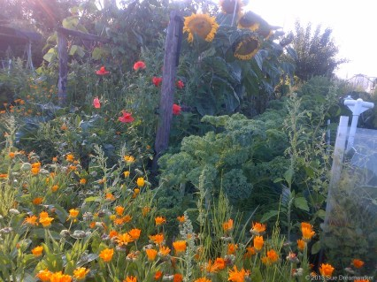 Sunflowers and marigolds to attract the Bees