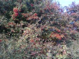 Hawthorne Berries can be made into syrup and chutney click photo for further links to recipes