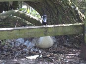 Sitting pretty on her eggs, right next to a walk way