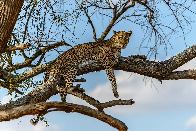 Male leopard taken in Tarangire NP in Tanzania.