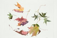 Sugar Maple and Japanese Maple Leaves, watercolor on paper, 16 x 18 inches