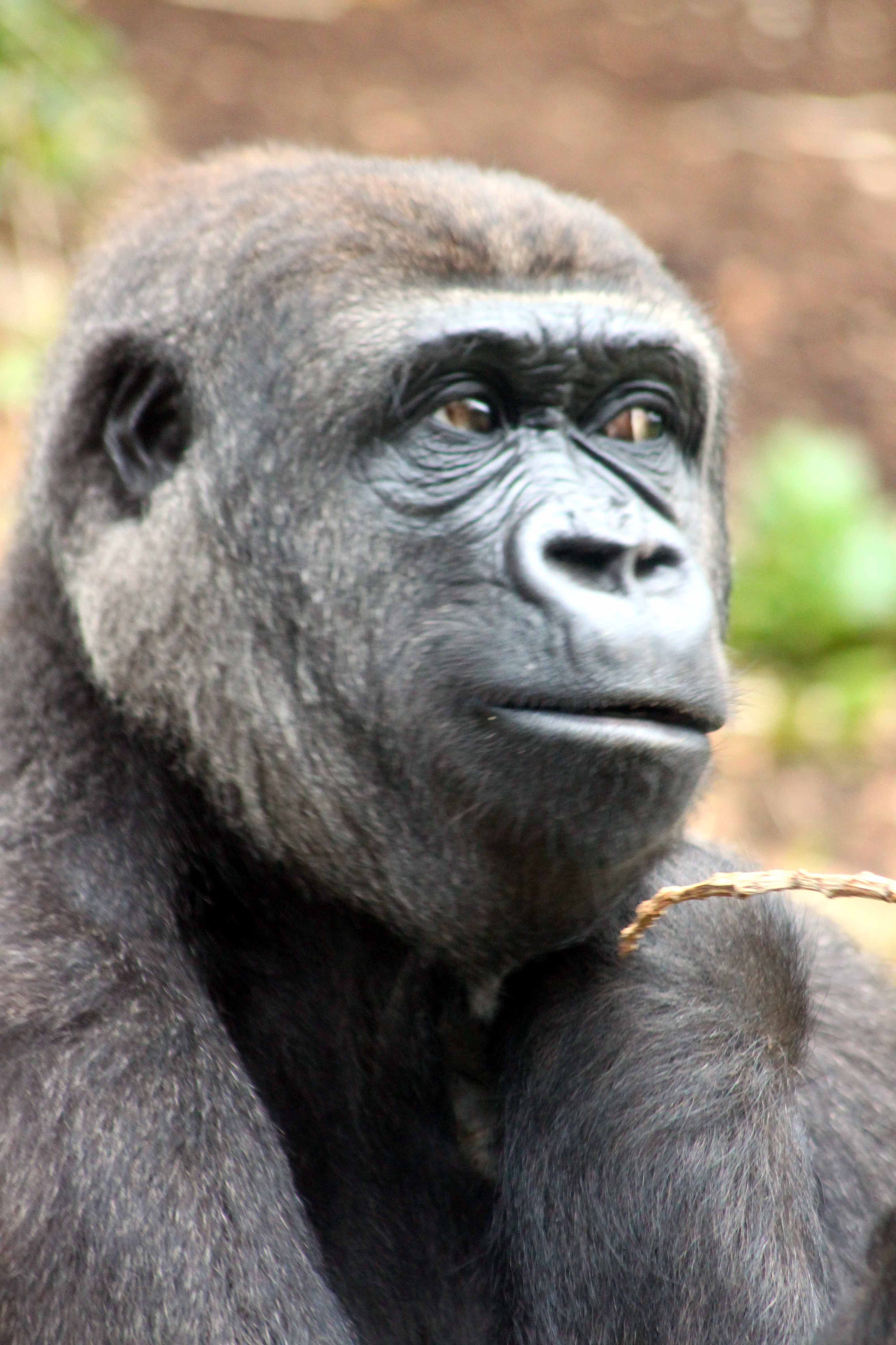 The Many Moods Of The Mountain Gorilla A Word In Your Ear
