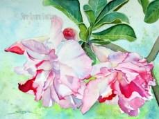 Pink Double Desert Rose $99