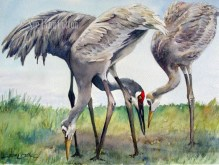 Sandhill Crane with Young