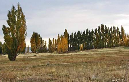 Alum Trees