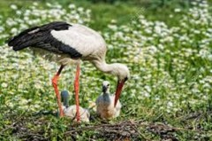 Daisy Stork with Babies