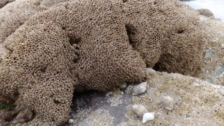 Winkles, barnacles and honeycomb worms