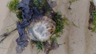 A beached jellyfish