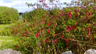 Fuchsia in the hotel's organic garden