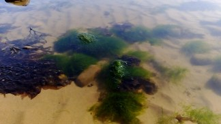 Submerged seaweed