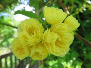 rosa banksia