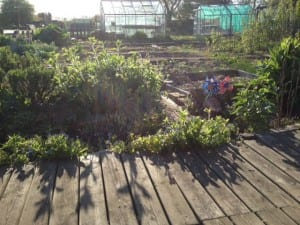 evening sun on the allotment April 2014
