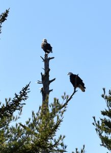 Two eagles in a tree
