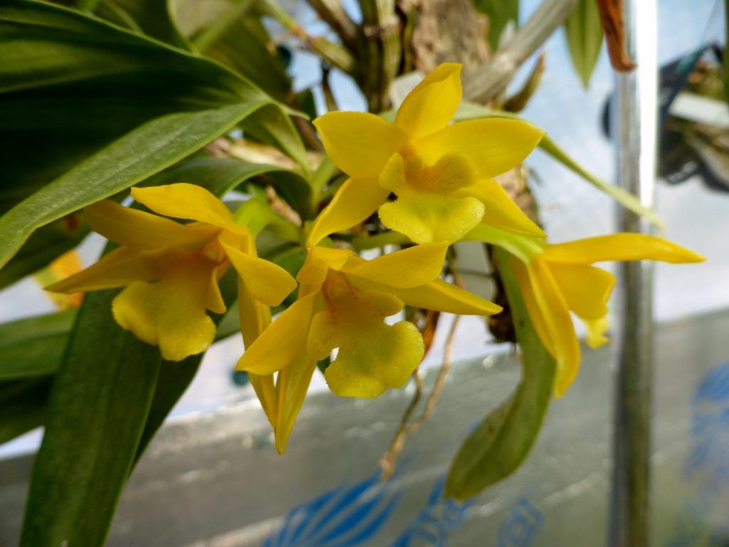 Dendrobium trignopus
