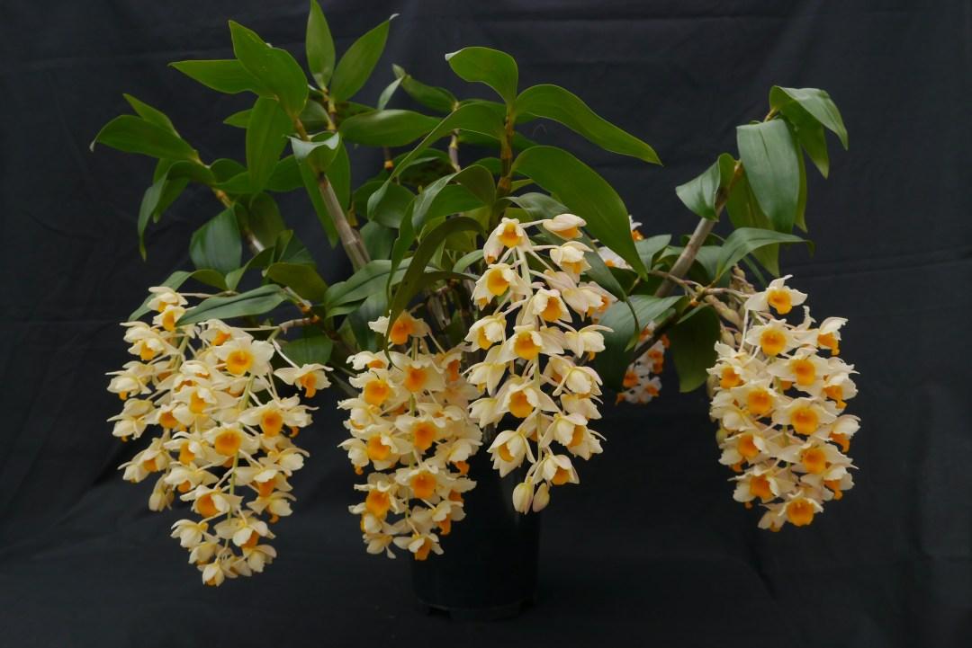 Dendrobium thyrsiflorum plant Andy Gissing Class 3 HC