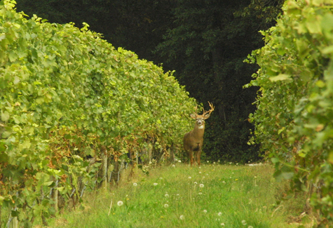 BARBARAELLEN KOCH FILE PHOTO | Southold Town will host a deer forum Jan. 16.