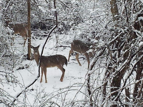 Deer on Deep Hole Drive in Mattituck. (Lynette Dallas courtesy file photo)