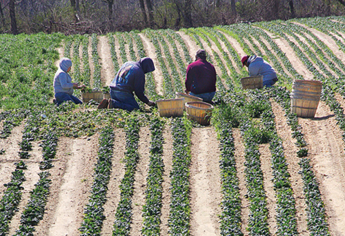Farm workers harvesting spinach at Bayview Farm on the Main Road in Aquebogue. Photo by Barbaraellen Koch.