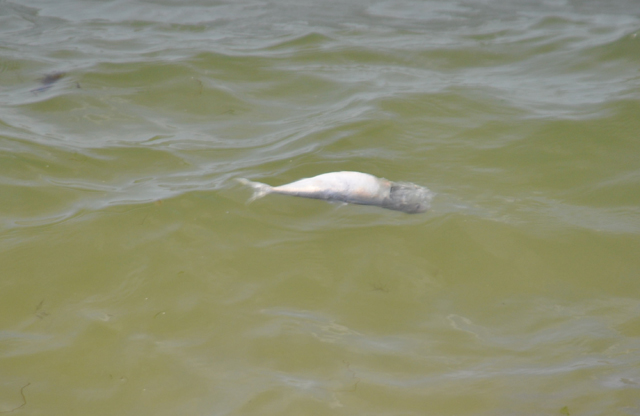 A dead bunker fish floating near the shoreline at Nassau Point Sunday morning. (Credit: Grant Parpan)
