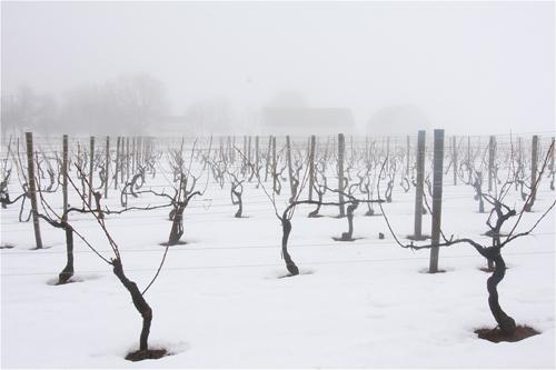 Lenz Vineyard in Cutchogue looking west this afternoon. (Barbaraellen Koch photo)