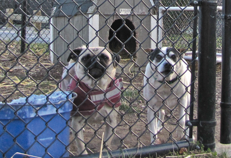 BETH YOUNG FILE PHOTO | A pair of dogs at the Southold Animal Shelter.