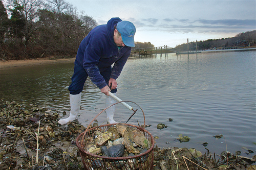 BARBARAELLEN KOCH PHOTO  |  Southold trustee and bayman Jim King harvests oysters and clams in Mattituck Inlet last year.