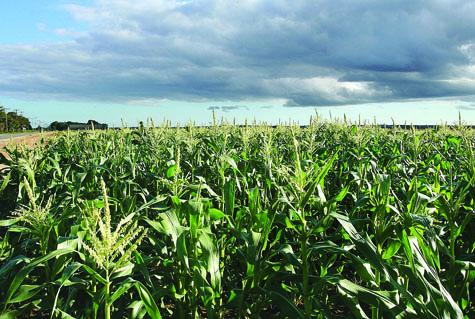 Phillip Schmitt and Sons Farm's corn field in Riverhead in 2011. (Credit: Barbaraellen Koch, file)