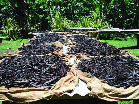 Vanilla beans curing in the sun on the island of Tahaa, one of the many islands surrounding Tahiti, and the primary source of Tahitian vanilla.