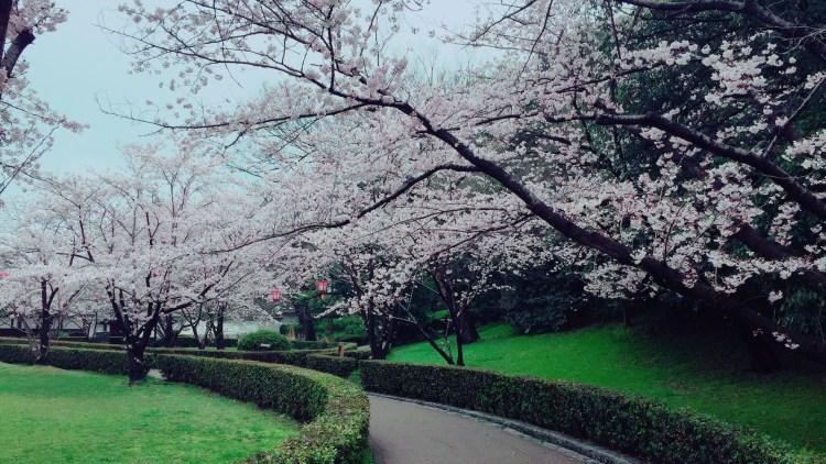 丸亀城の桜。きれいですね。