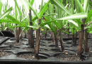 THAILAND: The New Cane Cultivation Technique Reduces Cane Sett Costs by 4 Times