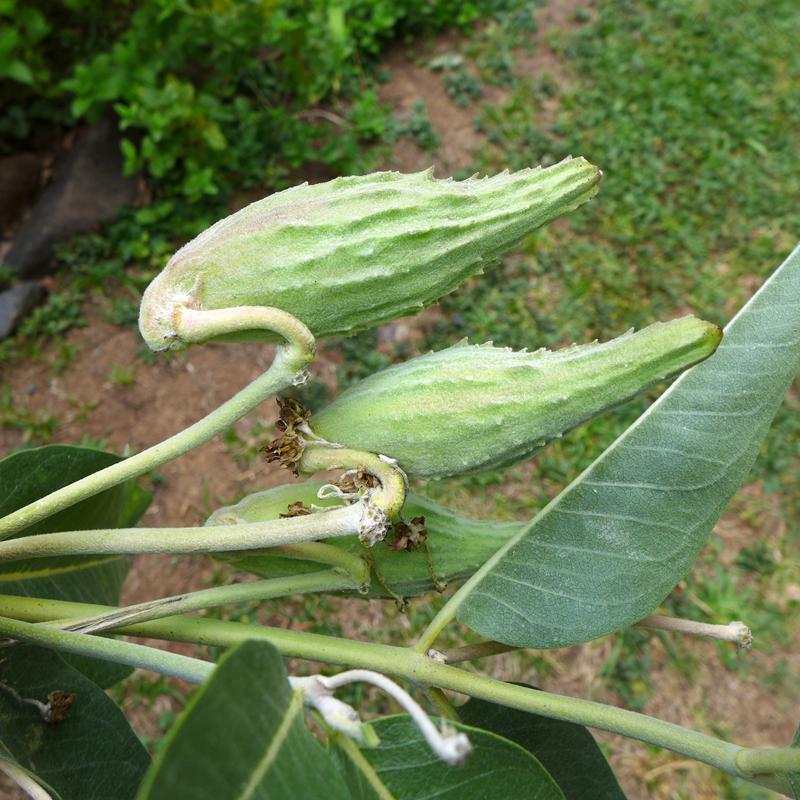 milkweed pods up close