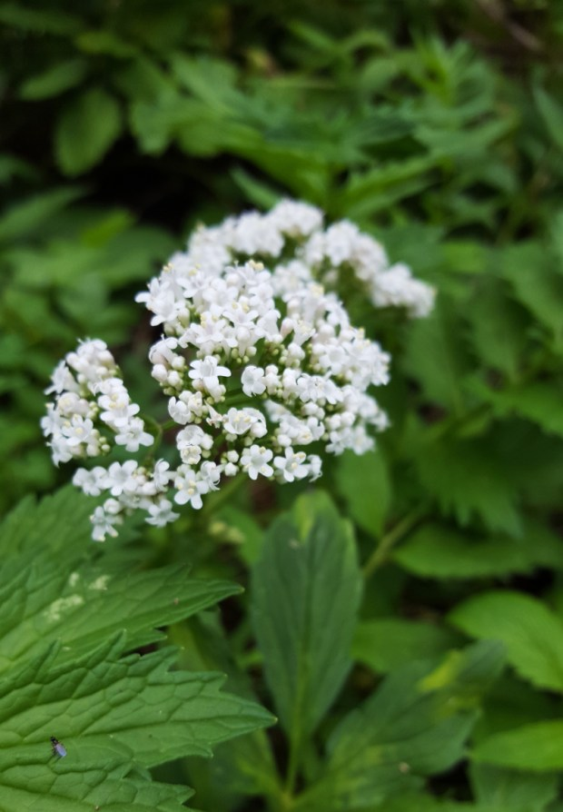 medicinal valerian in bloom, valerian blossoms