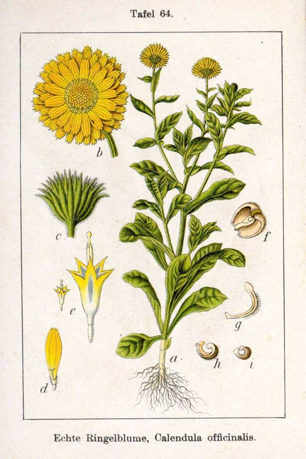 Sugar and Pith, vintage botanical illustration of calendula