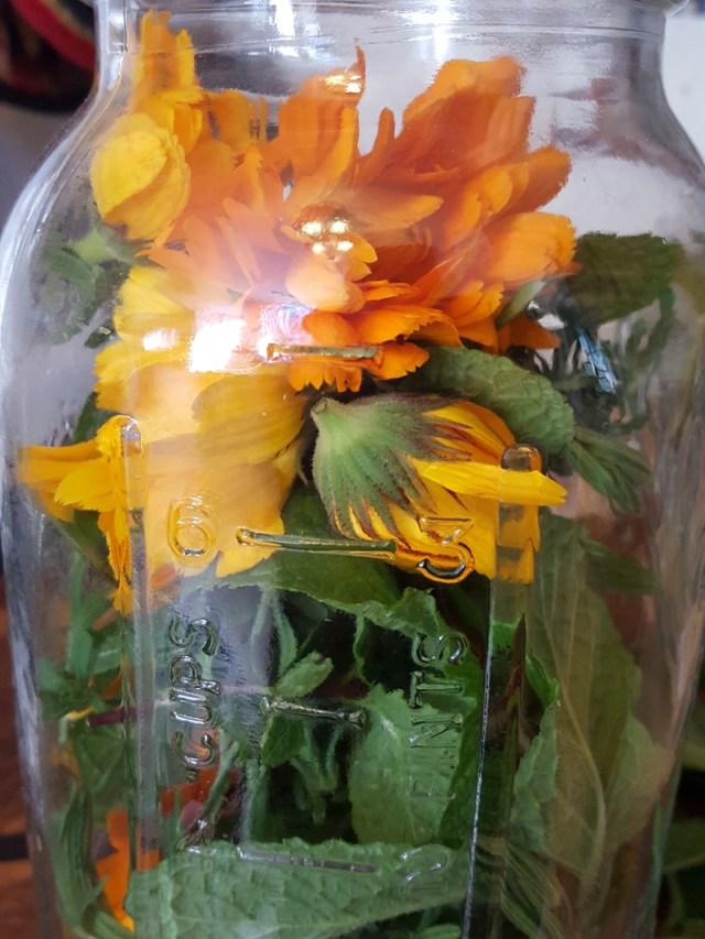 Sugar and Pith, half gallon jar filled with fresh calendula, cleavers, and mint