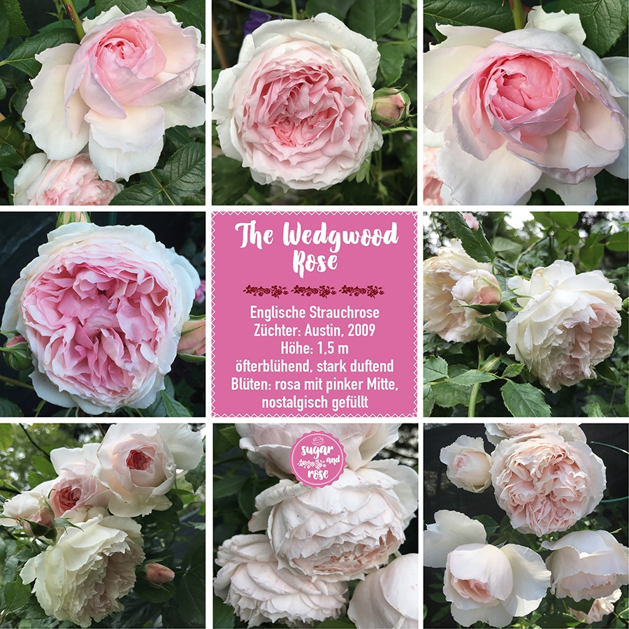 The Wedgwood Rose.jpg