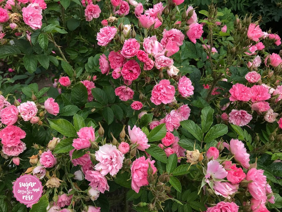 Pink-Grootendorst-0.jpg