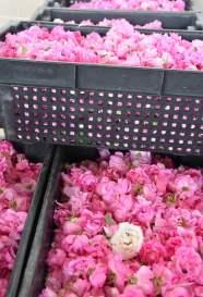 Rosenblütenernte für Marmelade und Gelee