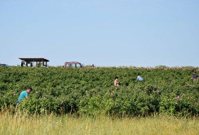 Arbeiter beim Rosenpflücken