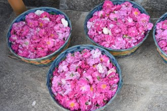 Damaszener- und Albarosenblüten
