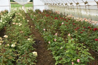 Rosen im Folientunnel