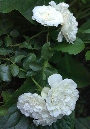 White-Meidiland-3