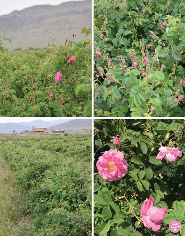 Rosenfelder nahe Qamsar, Persien und Rosen