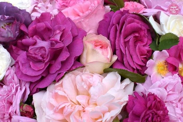 Zahlreiche Rosenblüten von porzeallanrose, lilarose, kräftig rosa, pink, fuchsia und violett für die Rosenküche
