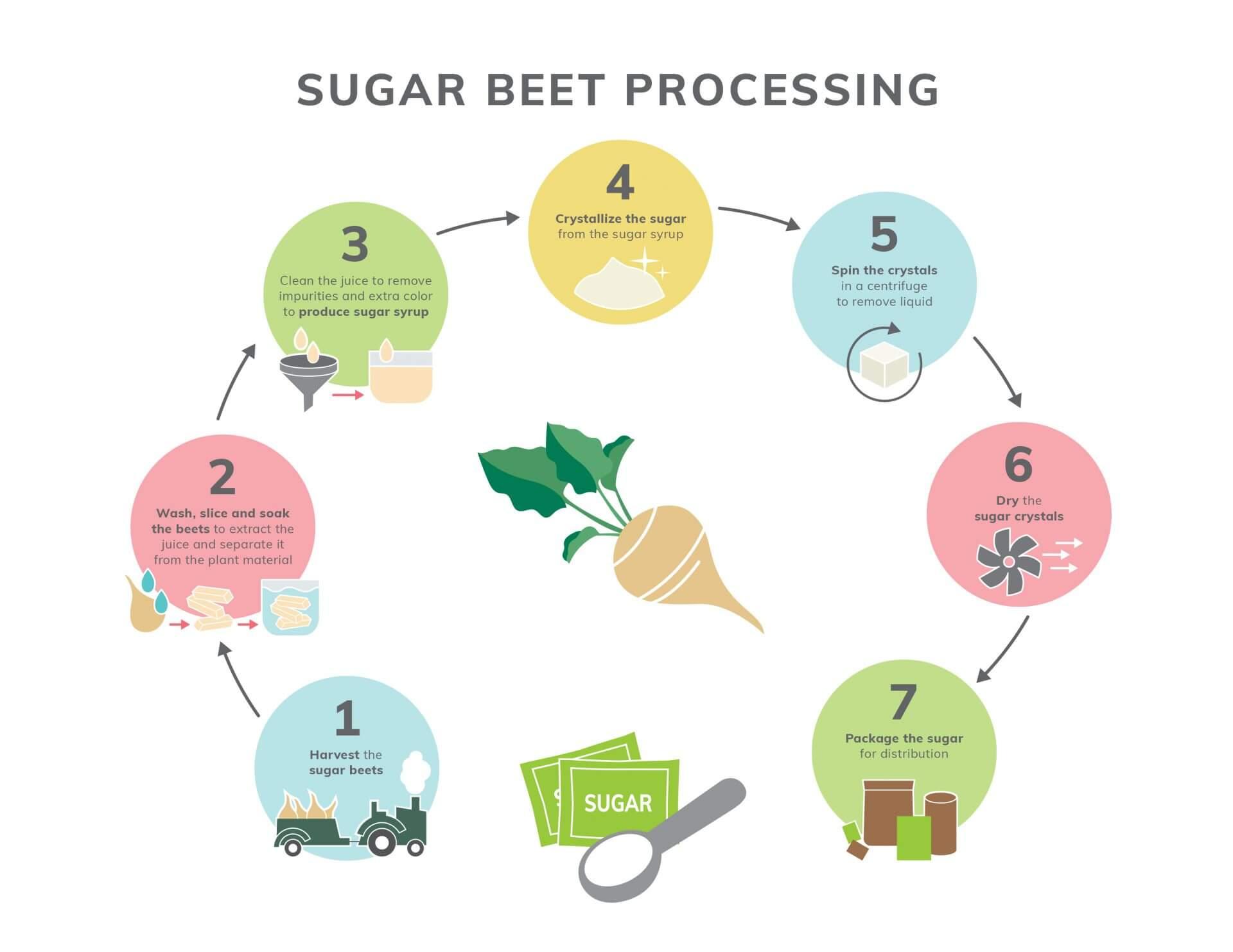 Sugar Beet Processing Infographic