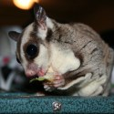what do sugar gliders eat